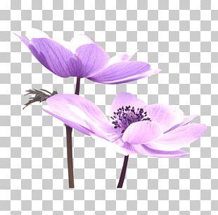 Purple Flower Nelumbo Nucifera PNG