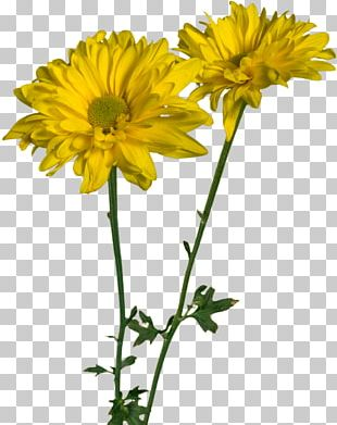 Daisy Family Oxeye Daisy Glebionis Coronaria Cut Flowers PNG