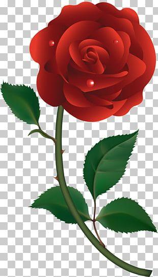 Garden Roses Cabbage Rose Floribunda China Rose PNG