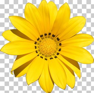 Flower Yellow Stock Photography Transvaal Daisy PNG