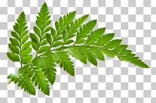 Vascular Plant Flower Fern Leaf Pteridophyte PNG