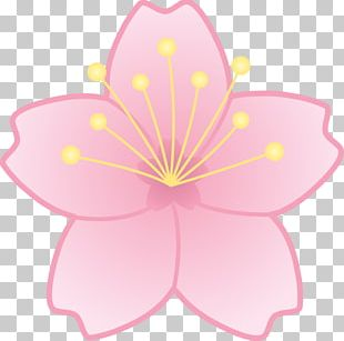 Cherry Blossom Drawing Cartoon PNG