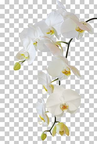 Moth Orchids Flower Stock Photography PNG