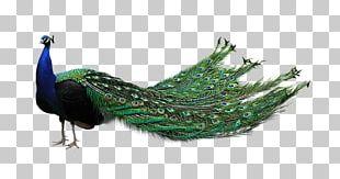Bird Asiatic Peafowl PNG