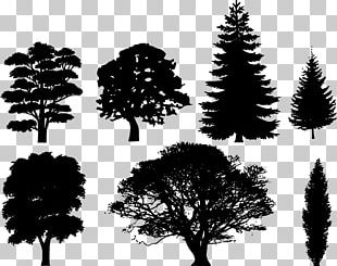 Drawing Tree Silhouette Evergreen PNG