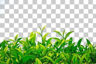 Green Tea Camellia Sinensis PNG