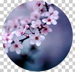 Cherry Blossom Flower Desktop Floristry PNG
