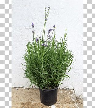 English Lavender French Lavender Herb Violet PNG