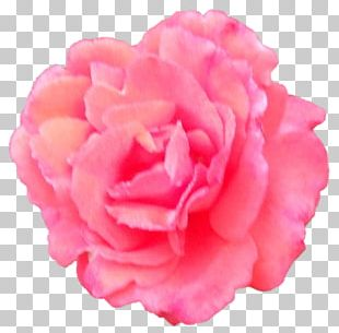 Garden Roses Cabbage Rose Japanese Camellia Carnation Cut Flowers PNG