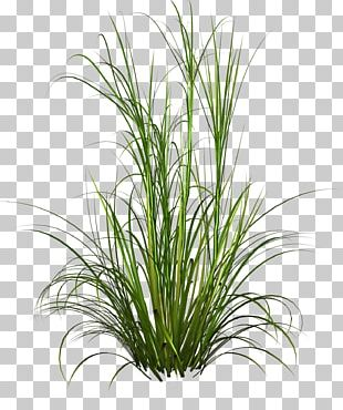 Purple Fountain Grass Pennisetum Alopecuroides Plant PNG