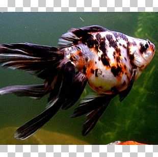 Fantail Comet Ryukin Shubunkin Veiltail PNG