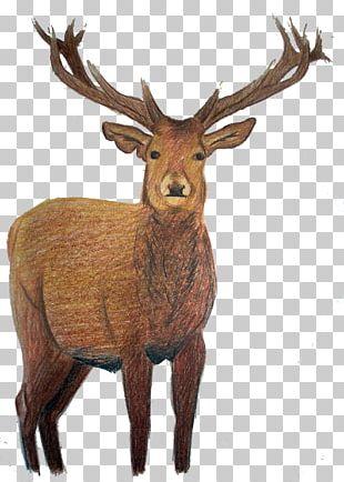 Elk White-tailed Deer Reindeer PNG