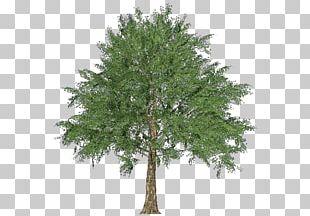Larch Norway Maple Tree Oak Evergreen PNG