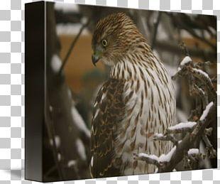 Hawk Fauna Wildlife Beak Feather PNG