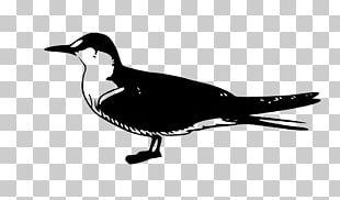 Arctic Tern Common Tern Fairy Tern Bird PNG