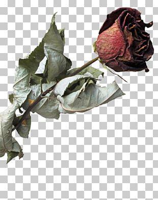 Garden Roses Beach Rose Flower Petal PNG