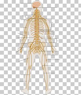 Peripheral Nervous System Human Body Organ System Outline Of The Human Nervous System PNG