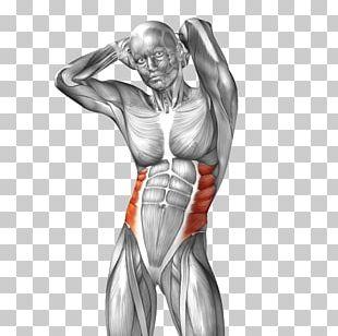 Abdominal External Oblique Muscle Abdominal Internal Oblique Muscle Rectus Abdominis Muscle Anatomy PNG