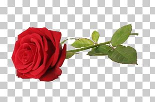 Rose Red Stock Photography Flower PNG
