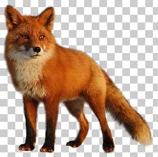Fox Photography Zorro PNG