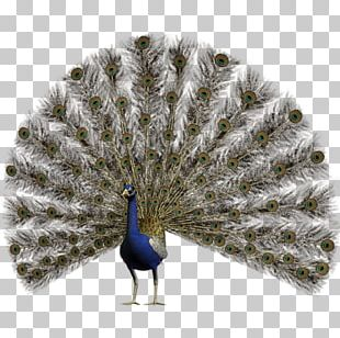 Pavo Feather Asiatic Peafowl PNG