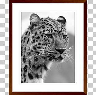 Felidae Black Panther Bengal Cat Wildcat Cheetah PNG