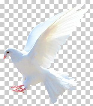 Rock Dove Columbidae Bird Flight Sparrow PNG