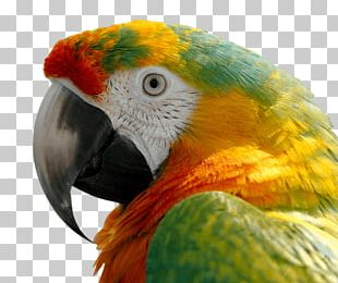 Parrot Bird Scarlet Macaw Blue-and-yellow Macaw PNG