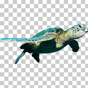 Green Sea Turtle PNG