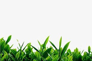 Green Tea Background Material PNG