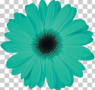 Daisy Family Petal Transvaal Daisy Leaf Flower PNG