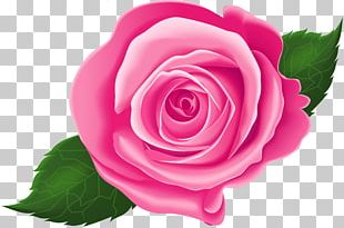 Garden Roses Cabbage Rose Floribunda Pink PNG