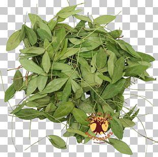 Periwinkle Traditional Medicine Medicinal Plants Shrub PNG