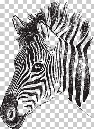 Zebra Drawing Stripe PNG