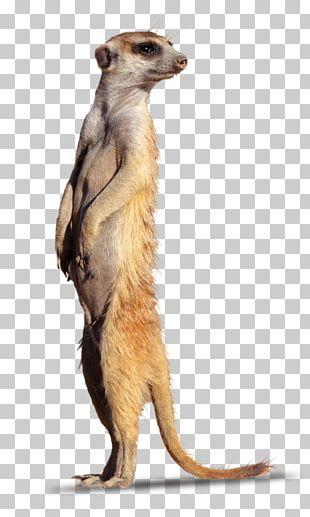 Meerkat Mongoose Fur Terrestrial Animal Snout PNG