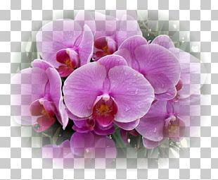 Moth Orchids Flower Plant Lilium PNG