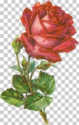 Rose Botanical Illustration Botany PNG