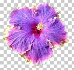 Rosemallows Flower Garden Seed PNG