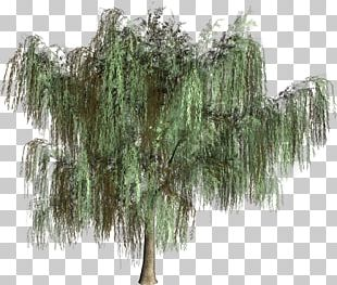 Woody Plant Tree Evergreen Conifers PNG