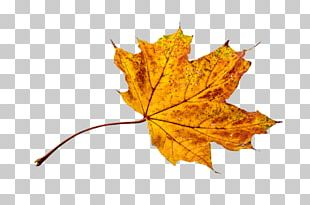 Autumn Leaf Color Light Yellow PNG