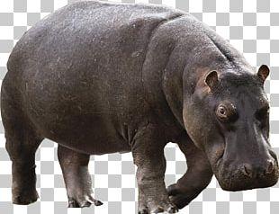 Hippopotamus River Horse PNG