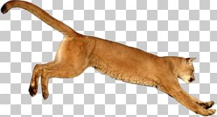Cougar Lion Tiger Animal PNG