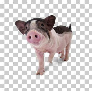 Miniature Pig Danish Landrace Pig Large White Pig Middle White Pet PNG
