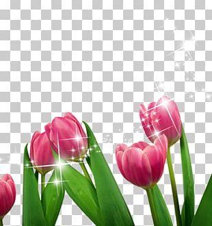 Tulip Cut Flowers Purple PNG