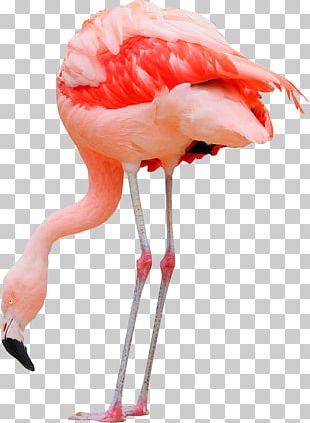 Water Bird Greater Flamingo Pelican Ardea PNG