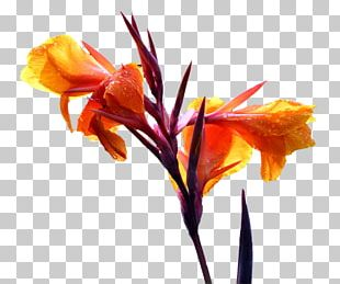 Canna Cut Flowers Floral Design Lilium PNG
