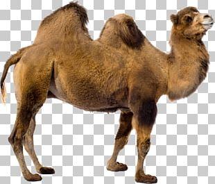 Camel PNG