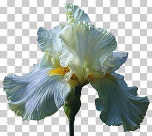 Orris Root Irises Cut Flowers Wholesale PNG
