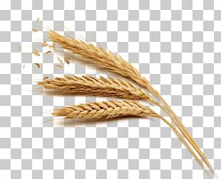 Wheat Rice Harvest PNG