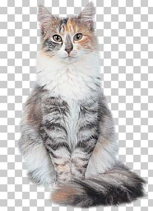 Siberian Cat Norwegian Forest Cat Maine Coon Kitten Siamese Cat PNG